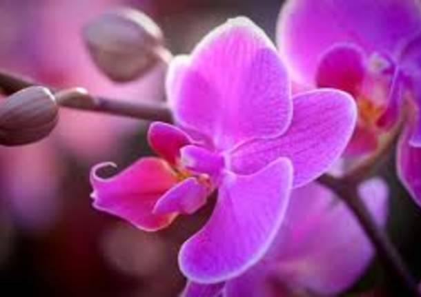 Orchidea Antares