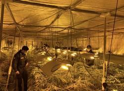 Piantagione di marijuana a Gorla Maggiore