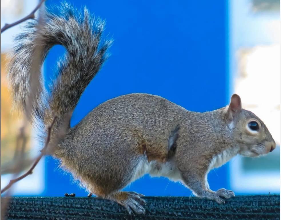 uno scoiattolo a spasso per busto garolfo