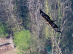 L\'aquila reale sui boschi della Valcuvia