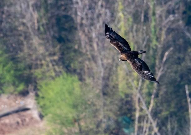 L'aquila reale vola sui boschi della Valcuvia
