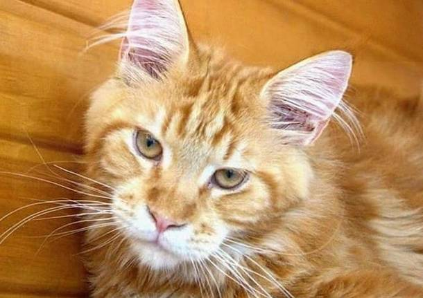 Avvistato Maine Coon rosso