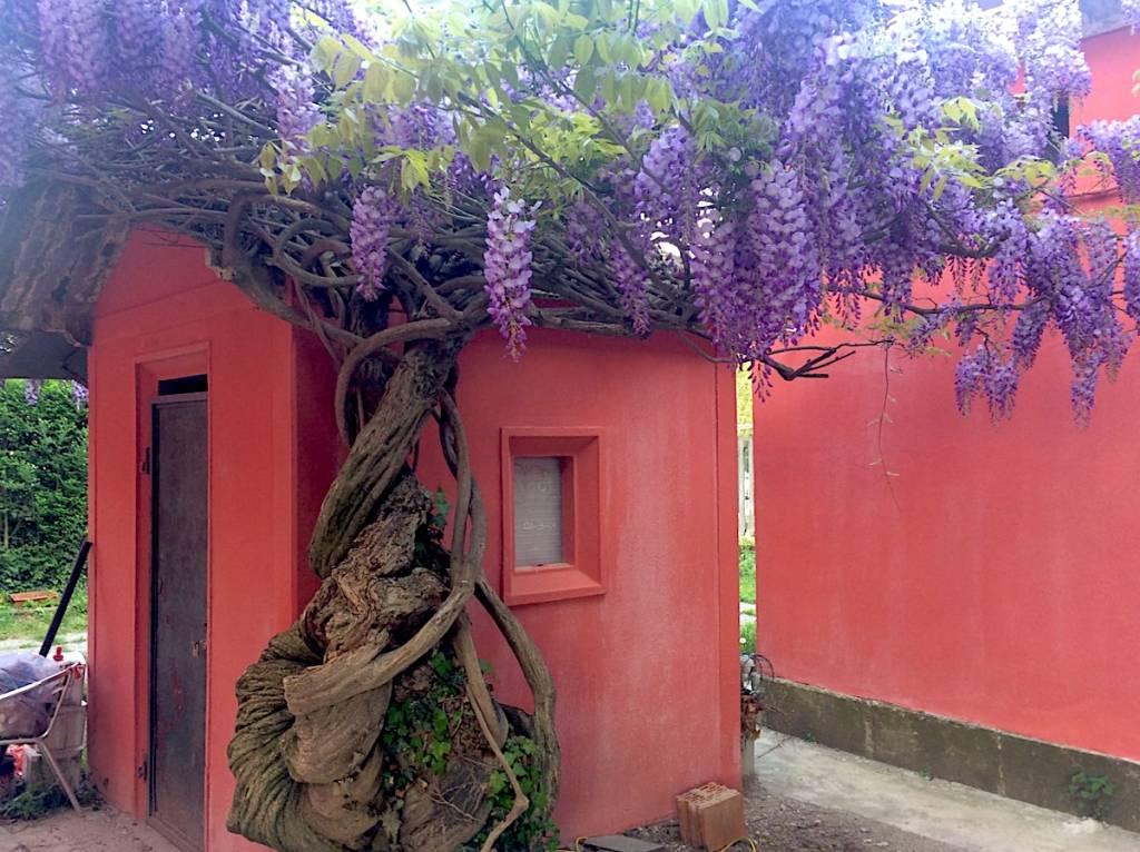 Glicine a Bisuschio - foto di Fabrizio Vai