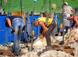 tosatura pecore valle olona giorgio crosta