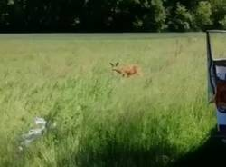 Capriolo liberato nel parco Rugareto