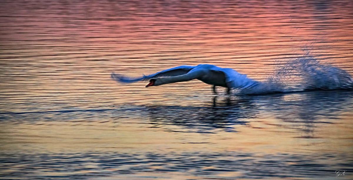 Cigno al tramonto - foto di Graziano Zampieri