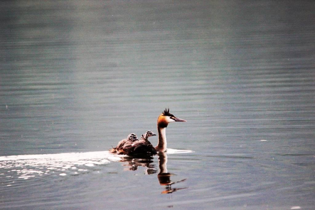 Lo svasso coi suoi piccoli sul Lago di Comabbio