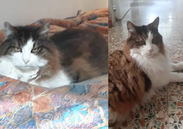 Gatto scomparso a Legnano