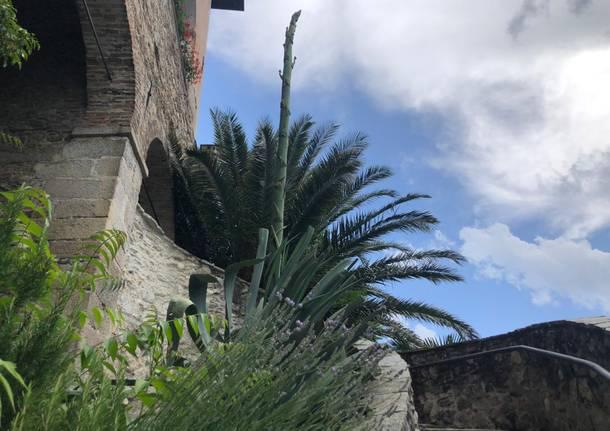 All'Eremo di Santa Caterina del Sasso di Leggiuno sta fiorendo l'agave