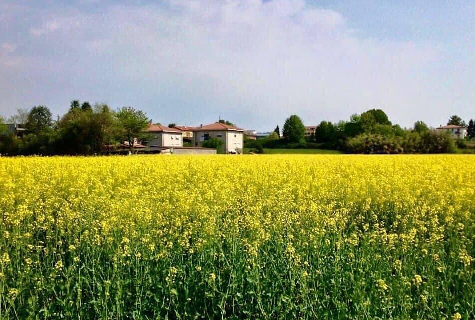 Tradate, campo di colza - foto di Rosanna Carbone