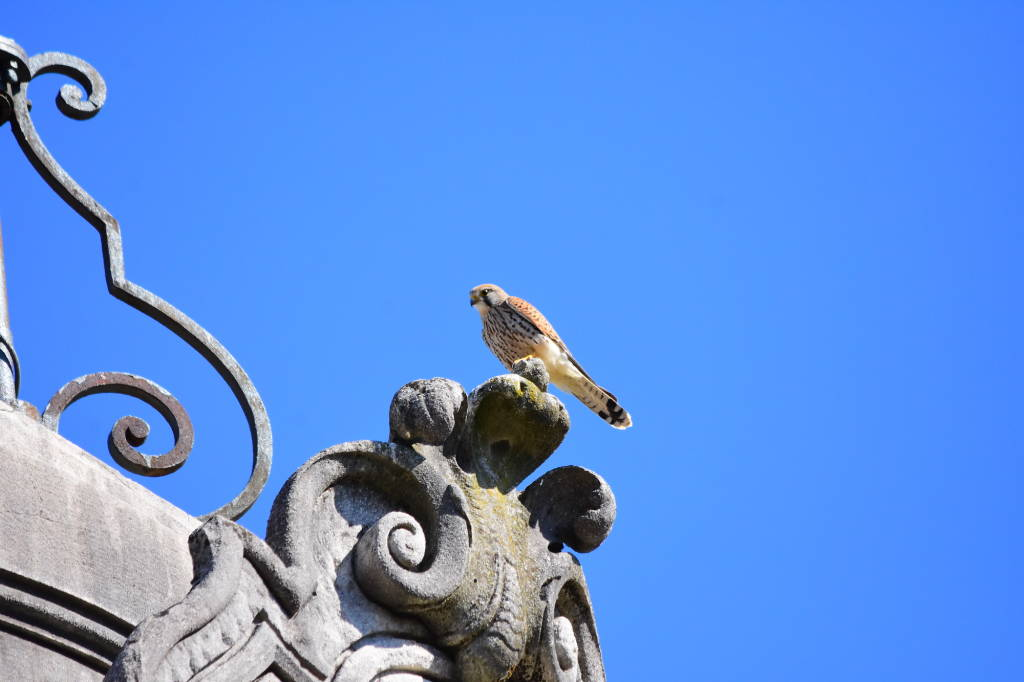 Un nido di gheppio sul tetto di Villa Castelbarco a Casciago