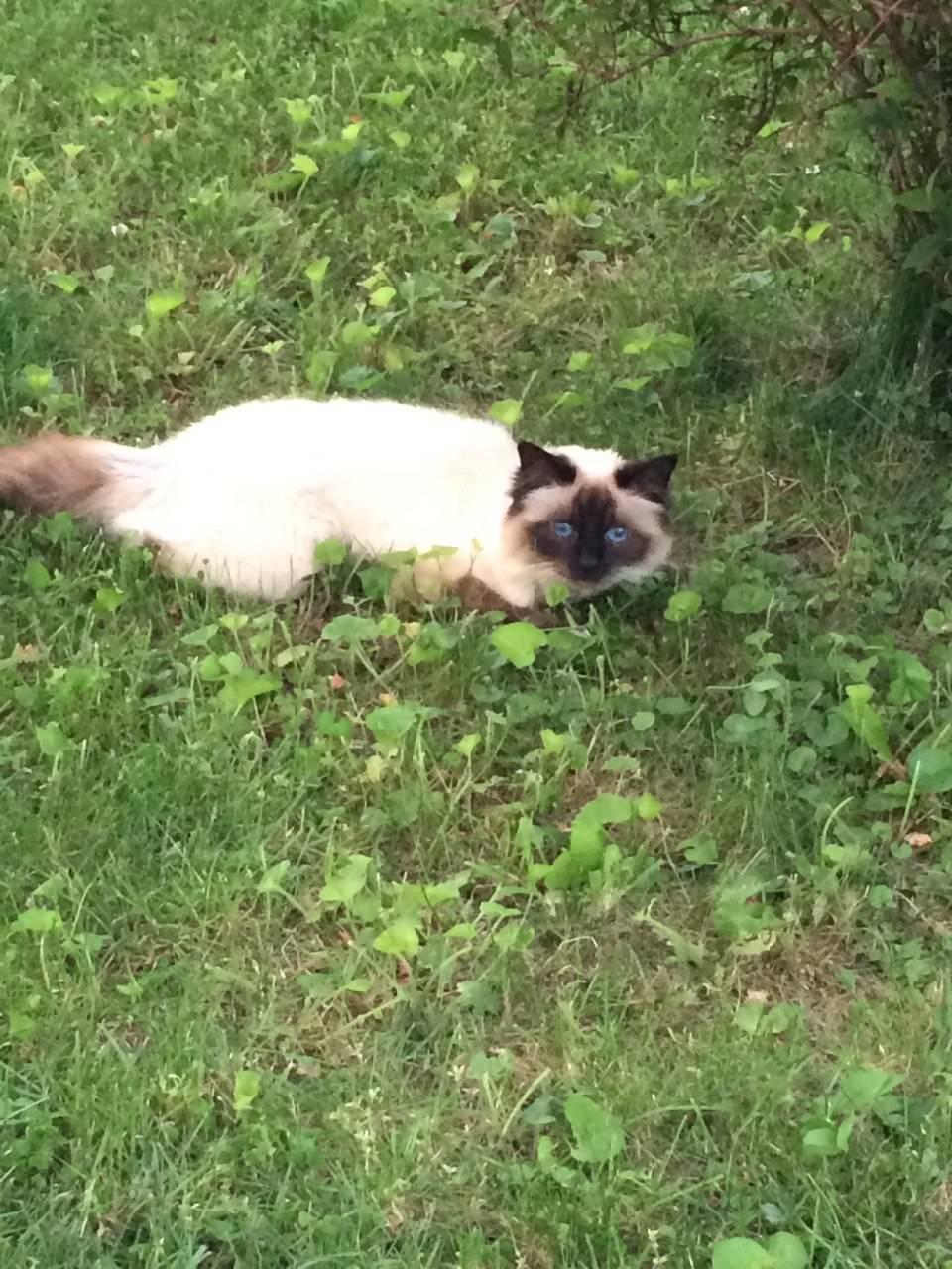 Gattina di razza sacro di Birmania smarritasi in Cadegliano Viconago (VA)