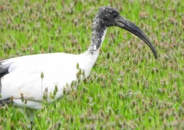 ibis eremita, ibis sacro, waldrappenteam,