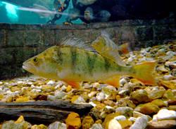 pesce persico perca fluviatilis