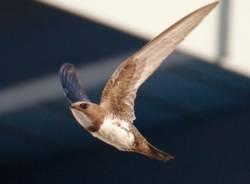 Sulle ali dei rondoni: 350 nidi siti di nidificazione individuati da ottanta partecipanti al censimento