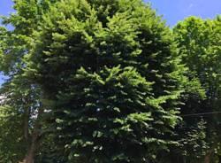 Tradate - Abbattimento albero piazza Mazzini