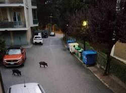 Cinghiali fra i condomini a Varese