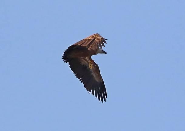 Antares Legnano: avvoltoio grifone avvistato sul cielo di Legnano