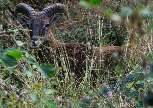 Mufloni valcuvia