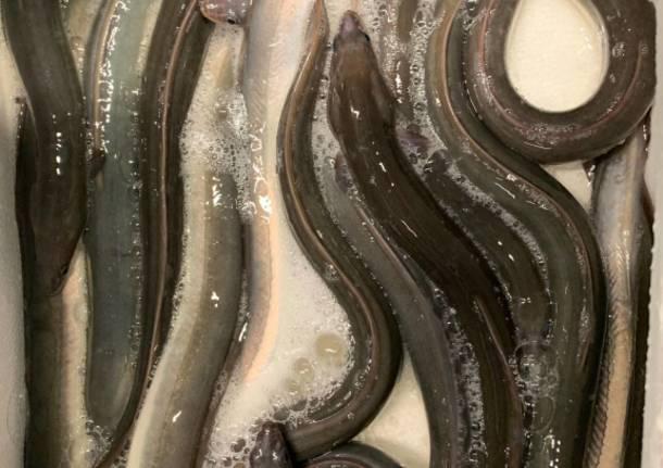 contrabbando anguille